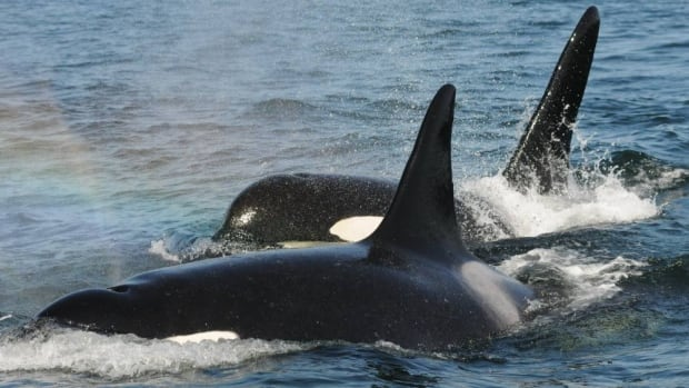 Post-reproductive Killer whale mother and her adult son.
