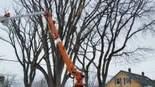 City crew removing diseased elm tree
