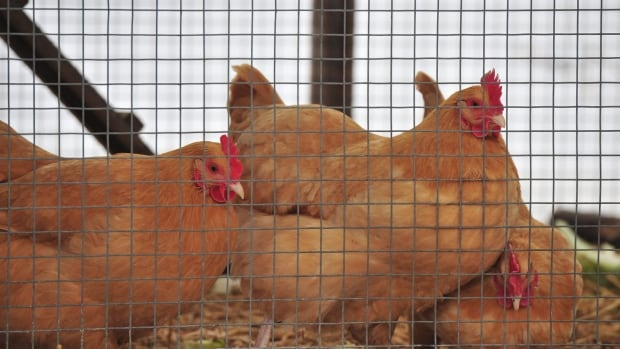 The group Poultry for PG wanted Prince George council to allow citizens to keep up to six hens in backyard coops.