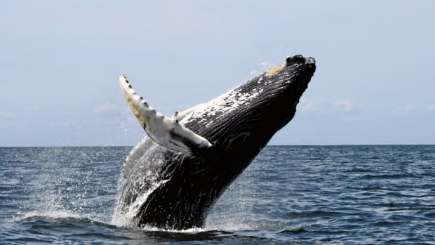 Scientists don't know what's killed 14 whales off the coast of Alaska since May.