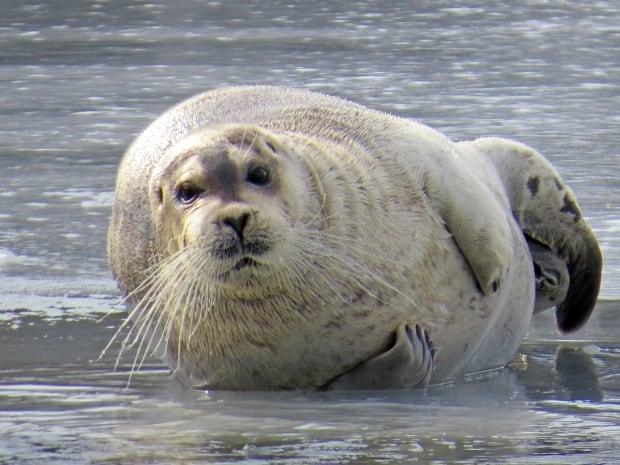 Bearded seal in Quidi Vidi by Ferne Williams