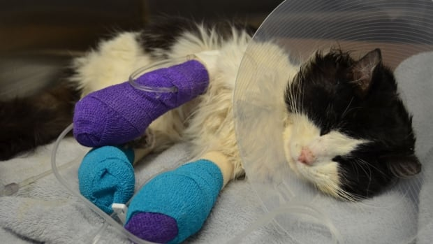 The Regina Humane Society is investigating after finding a severely injured cat whose legs had been bound with electrical tape. In this photo, the wrappings are part of the animal's medical treatments.