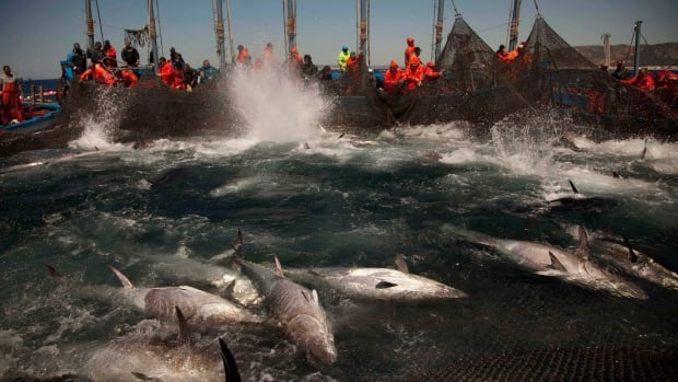 Atlantic bluefin tuna are corralled by fishing nets off the coast of Barbate, Cadiz province, southern Spain.  A new study argues every vessel on the planet should be tracked to prevent overfishing.