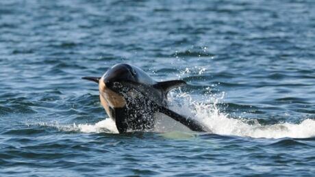baby orca J50 02