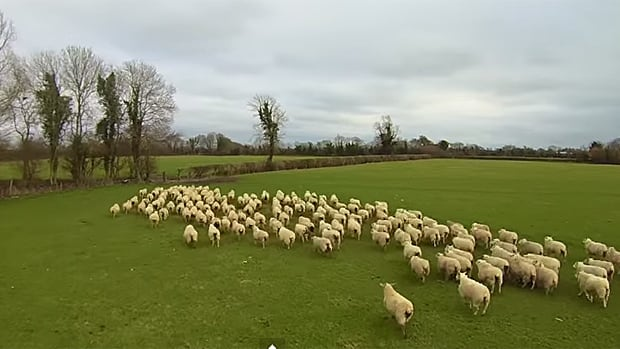 Irish farmer and aerial photographer Paul Brennan was able to herd approximately 120 sheep from one field to another in just minutes using his quadcopter.