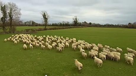 Sheepdrone
