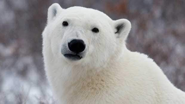 Western Arctic polar bears are doing just fine, according to a new study produced from interviews with 75 hunters.