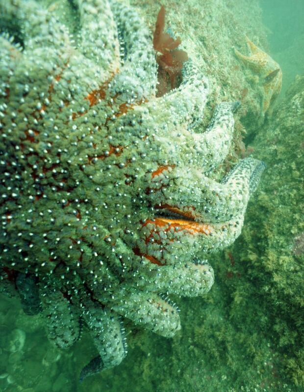 Dying Starfish