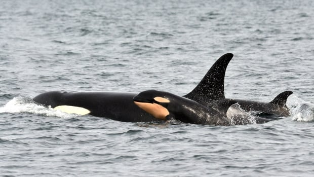 JPod's newest addition was spotted swimming with its pod off Galiano Island Monday.