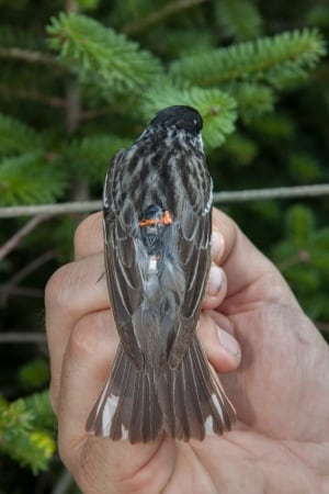 Geolocator on blackpoll warbler