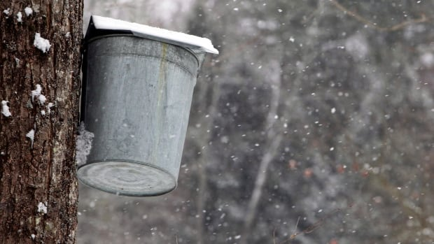 Snow falls as a maple syrup sap bucket hangs from a  maple tree. The annual sugaring season is still waiting for warmer temperatures.
