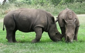 Two rhinos playing in South Africa