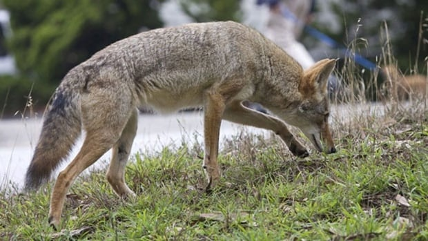 A coyote like this one was spotted on the Meewasin Trail this weekend.