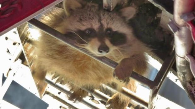 Raccoon spotted 213 metres up construction crane