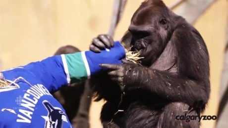 Canucks-Flames rivalry goes bananas as gorilla manhandles jersey