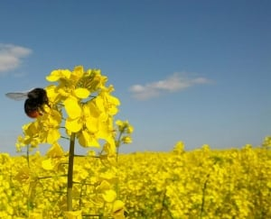 bees eating canola
