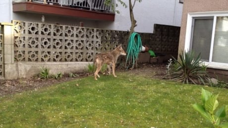 A coyote in a back yard