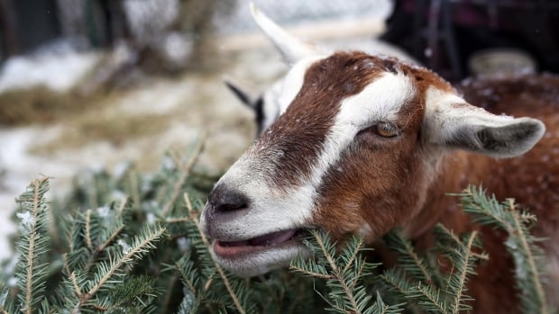 A goat picks away at a Christmas tree at the Constance Creek Wildlife Refuge in Dunrobin, Ont. in January. Goats can get rid of many kinds of unwanted vegetation, including poison ivy and thistle.