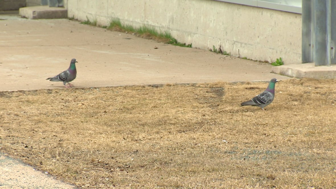 halifax bans bird poison to control pigeons on city. Black Bedroom Furniture Sets. Home Design Ideas