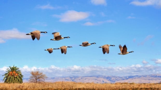 It's well known that geese fly south during winter, but the study of phenology seeks to understand how climate change will affect these natural phenomena.