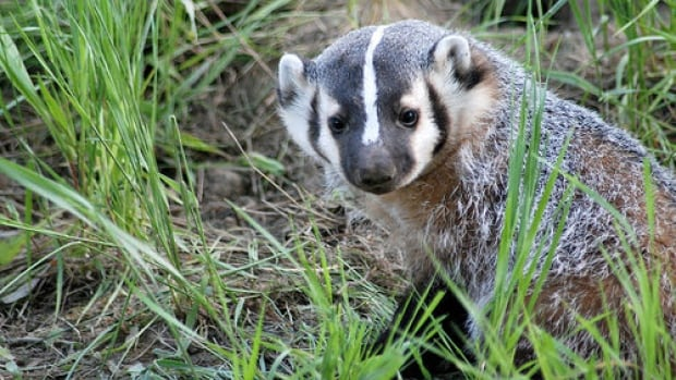 Badgers are an endangered species and extremely rare in B.C.