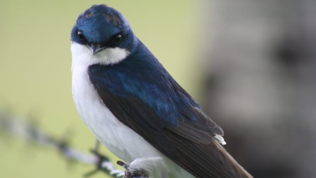 A geolocator can be seen sticking out from the back of a tree swallow. A new study shows no difference in stress hormone levels between birds with and without the geolocators.