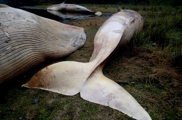 Chile Beached Whales
