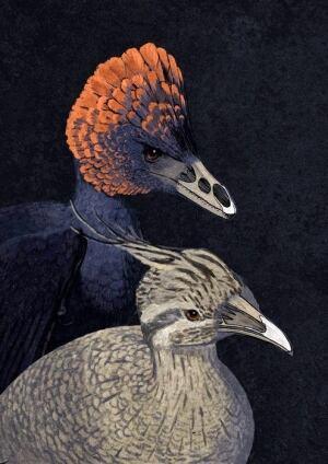 Anchiornis tinamou