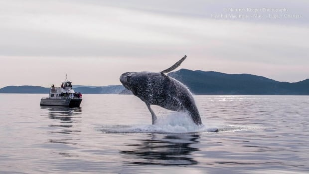 A humpback puts on a show for whale watchers off B.C.'s Saturna Island.