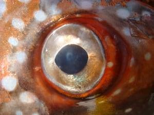 Opah eye
