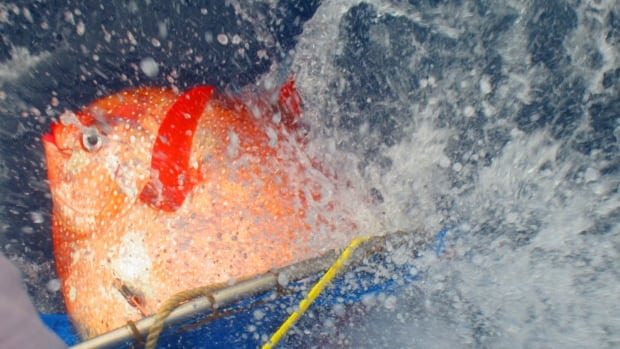 An opah is released with sensors to track temperatures as it dives. The opah, also called the moonfish, internally generates heat through constant flapping of wing-like pectoral fins.
