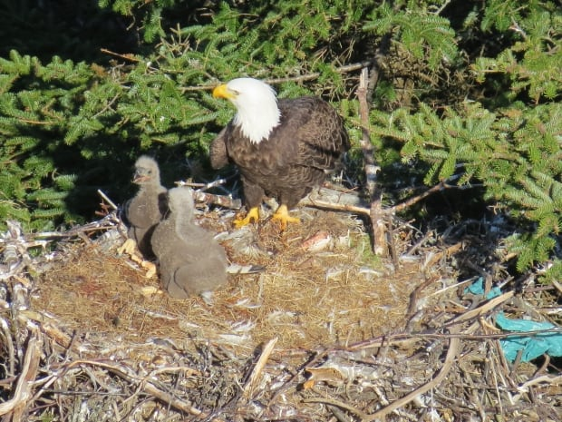 Baby eagles in Cuckhold's Cove Jim Fitzgerald