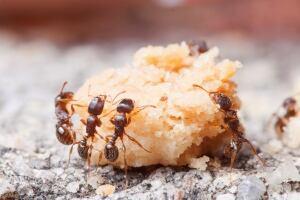 Ants-Junk Food