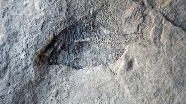 One of five fossilized fish recently discovered in Calgary.