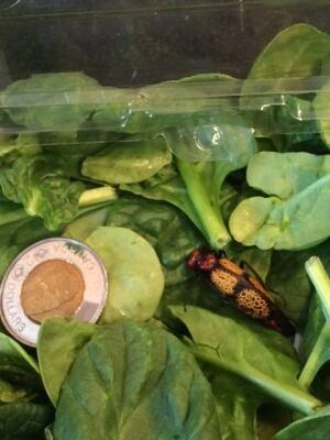 blister beetle 2