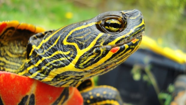 Environmental groups in central B.C. are organizing a weed pull this Friday to help restore the habitat of the western painted turtle.