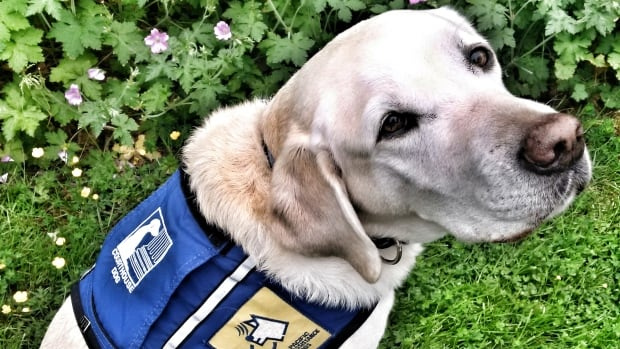 Seven-year-old Caber is the first K9 trauma dog to assist at trial in B.C.
