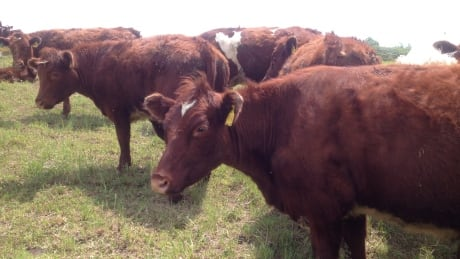 beef cow cattle cows