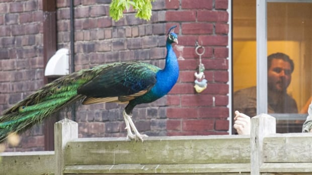 The peacock landed in a backyard on Toronto's Macdonell Avenue to the surprise of curious residents last week.