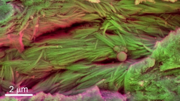 Scanning electron microscope images from the rib of an unidentified dinosaur from Dinosaur Park Formation in Alberta show mineralized fibres, thought to be collagen.