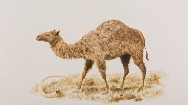 An ice-age western camel. Camels once roamed western North America, including as far north as the Yukon, before going extinct about 10,000 years ago.
