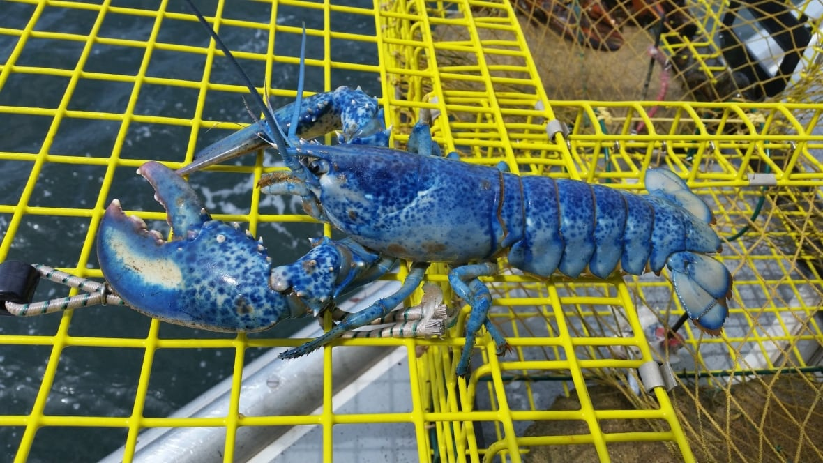 Colourful lobsters being hauled in across the Maritimes - New Brunswick - CBC News
