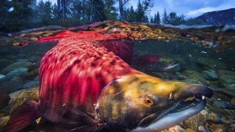 Oregon State University study finds salmon hatcheries