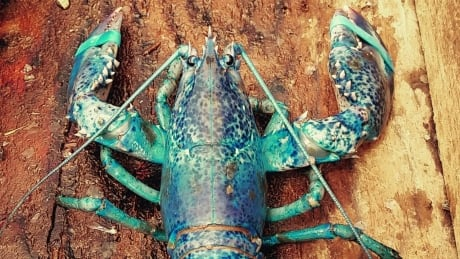 Rainbow lobster catches exaggerated by social media, says ...