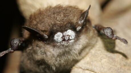 Deadly fungus threatens B.C.'s bats, biologist says