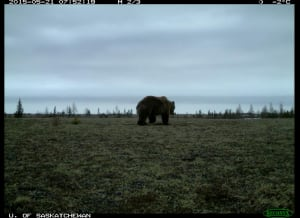 Grizzly bear Wapusk National Park