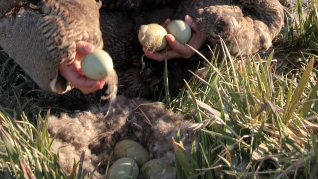 With no caribou on their islands, Inuit on the Belcher Islands have relied on eider ducks for food and clothing for generations. Here, an Inuit woman wearing a traditional eider skin parka collects duck eggs in a still photo from the film People of a Feather.