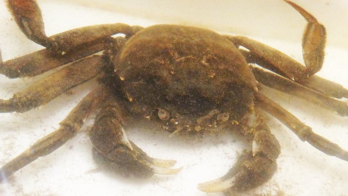 mitten crab invasion solution Invasion are key issues in our understanding of the invasion process and especially in the design of effec-  the chinese mitten crab eriocheir sinensis h milne-edwards 1854 is a euryhaline species with a catadro-mous life style and is a successful aquatic invadere.