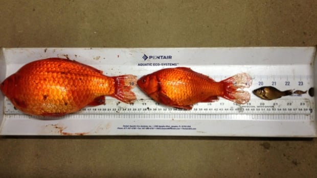 Just a handful of the 40 goldfish removed from a Fort McMurray storm pond in 2015. According to the province, some were as large as dinner plates.