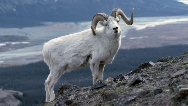 Dall sheep are found in parts of Alaska, Yukon, the N.W.T. and northwestern B.C.